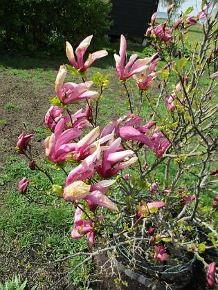 Magnolia                                 2019-05-12 Magnolia_0022 Granudden Färjestaden Öland