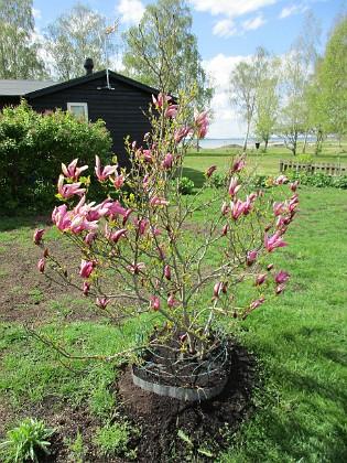 Magnolia                                 2019-05-12 Magnolia_0023 Granudden Färjestaden Öland