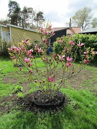 Magnolia                                &nbsp 2019-05-12 Magnolia_0024 Granudden Färjestaden Öland