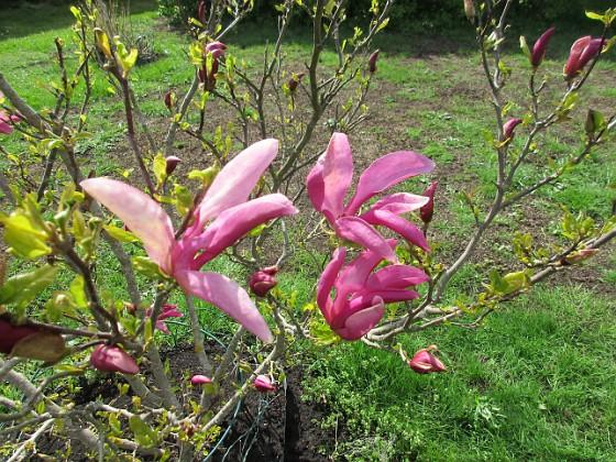 Magnolia                                &nbsp 2019-05-12 Magnolia_0027 Granudden Färjestaden Öland