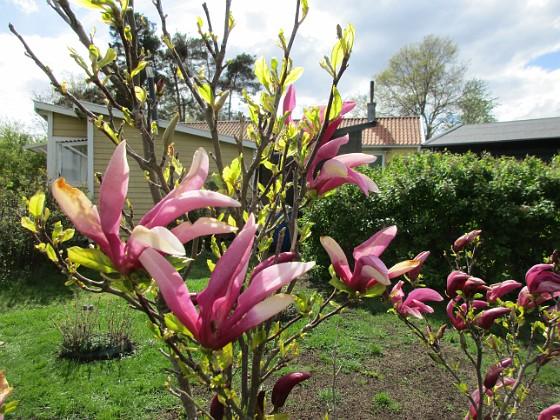 Magnolia {  }