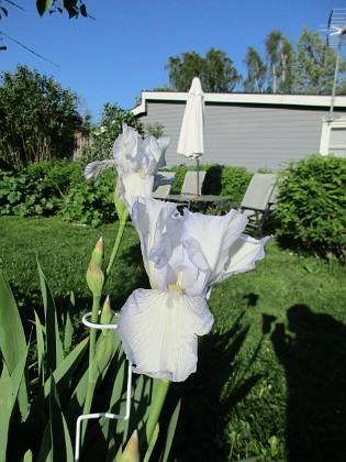 Iris Germanica Årets första Trädgårdsiris! Den har precis slagit ut.                                2019-05-28 Iris Germanica_0004 Granudden Färjestaden Öland