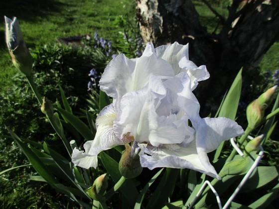 Iris Germanica { Årets första Trädgårdsiris! Den har precis slagit ut.                                }