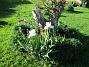 Årets första Trädgårdsiris! Den har precis slagit ut.                                (2019-05-28 IMG_0012)