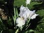 Årets första Trädgårdsiris! Den har precis slagit ut. (2019-05-28 Iris Germanica_0001)