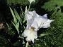 Årets första Trädgårdsiris! Den har precis slagit ut.                                (2019-05-28 Iris Germanica_0005)