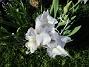 Iris Germanica Årets första Trädgårdsiris! Den har precis slagit ut.                                2019-05-28 Iris Germanica_0006