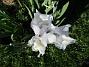 Iris Germanica Årets första Trädgårdsiris! Den har precis slagit ut.                                2019-05-28 Iris Germanica_0009