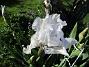 Iris Germanica Årets första Trädgårdsiris! Den har precis slagit ut.                                2019-05-28 Iris Germanica_0010