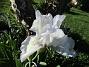 Årets första Trädgårdsiris! Den har precis slagit ut.                                (2019-05-28 Iris Germanica_0011)