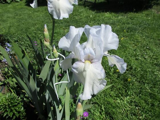 Trädgårdsiris { Dessa slog ut igår men de bilder jag tog då blev inte lika fina som dessa, där de slagit ut helt. Det fläktar lite idag så jag har ännu inte känt doften, men jag vet att den doftar underbart!                                }