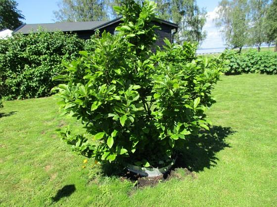 Magnolia                          2019-06-14 Magnolia_0035 Granudden Färjestaden Öland