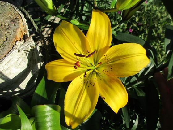 Lilja { Årets första Lilja! Denna gula Asiat-Lilja har funnits där ända sedan 2006 faktiskt. Jag har dessvärre inte så många gula Liljor. Gula Liljor är extra fina tycker jag! }