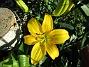 Årets första Lilja! Denna gula Asiat-Lilja har funnits där ända sedan 2006 faktiskt. Jag har dessvärre inte så många gula Liljor. Gula Liljor är extra fina tycker jag!                                (2019-07-01 Lilja_0004)
