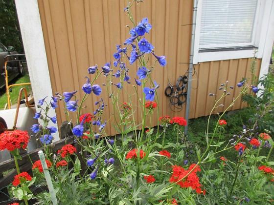 Blommor                                &nbsp 2019-07-10 Blommor_0009 Granudden Färjestaden Öland