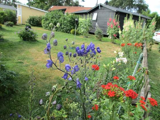 Blommor                                 2019-07-10 Blommor_0011 Granudden Färjestaden Öland