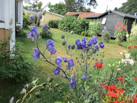 Blommor                                 2019-07-10 Blommor_0012 Granudden Färjestaden Öland