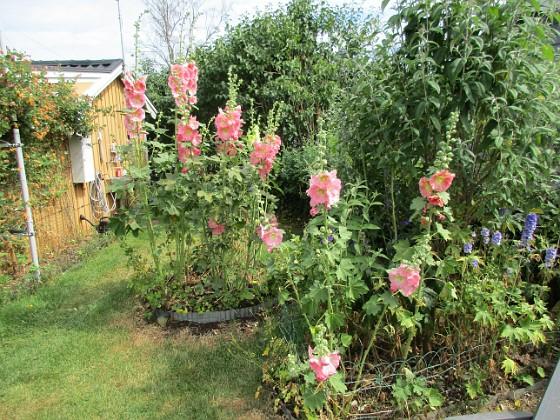 Blommor                                 2019-07-10 Blommor_0107 Granudden Färjestaden Öland
