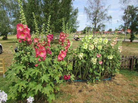 Blommor                                &nbsp 2019-07-10 Blommor_0108 Granudden Färjestaden Öland