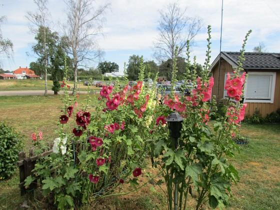 Blommor                                 2019-07-10 Blommor_0117 Granudden Färjestaden Öland