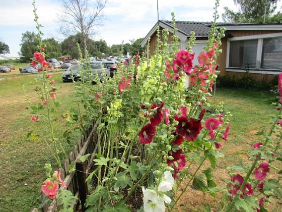 Blommor                                 2019-07-10 Blommor_0118 Granudden Färjestaden Öland