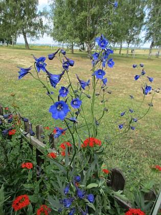 Blommor                                 2019-07-10 Blommor_0146 Granudden Färjestaden Öland