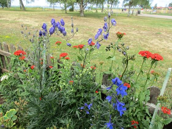 Blommor                                 2019-07-10 Blommor_0147 Granudden Färjestaden Öland