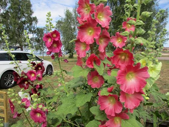 Stockros                                 2019-07-10 Stockros_0014 Granudden Färjestaden Öland