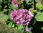 Hortensia                                 2019-07-25 Hortensia_0044