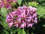 Hortensia                                 2019-07-25 Hortensia_0047