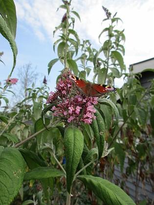 Syrenbuddleja { Den kallas även för Fjärilsbuske, och man förstår ju varför!                                }