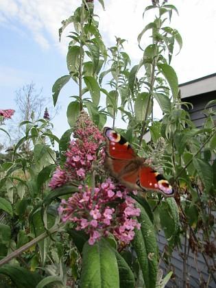 Syrenbuddleja Den kallas även för Fjärilsbuske, och man förstår ju varför!                                2019-07-27 Syrenbuddleja_0076 Granudden Färjestaden Öland