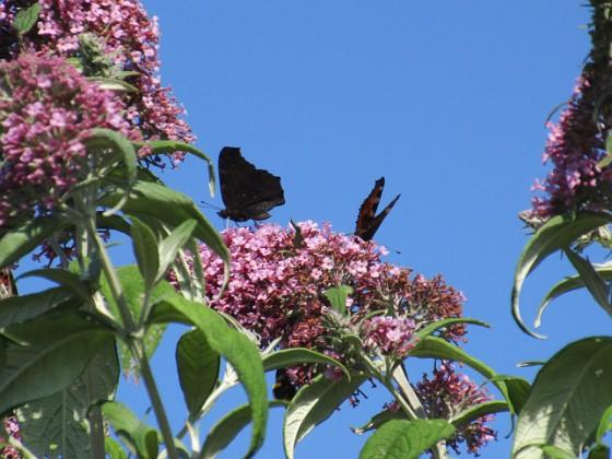 Buddleja { Man kan förstå varför den också kallas Fjärilsbuske!                                }