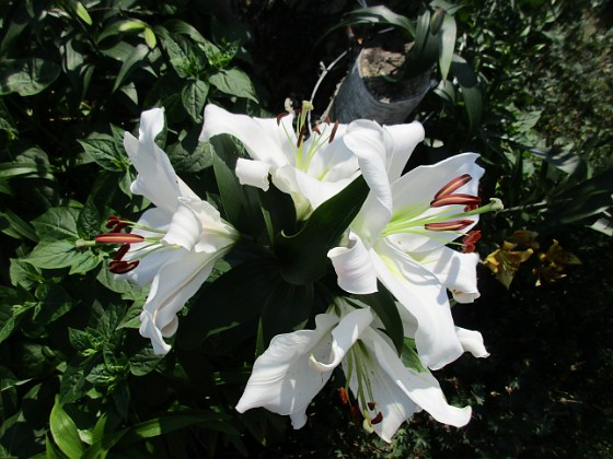 Trädlilja Den första vita Trädliljan har fått flera stora blommor!                                2019-07-28 Trädlilja_0045 Granudden Färjestaden Öland