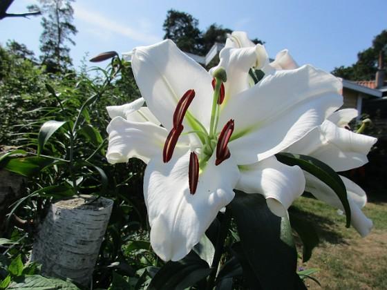Trädlilja { Den första vita Trädliljan har fått flera stora blommor!                                }