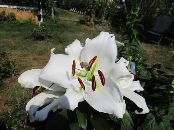 Trädlilja Syns det hur stora blommorna verkligen är?!                                2019-07-28 Trädlilja_0063 Granudden Färjestaden Öland
