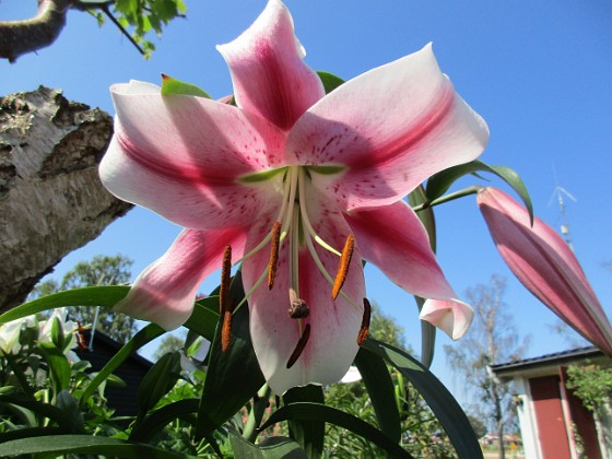Trädlilja { Min andra Trädlilja har sina blommor riktade nedåt. Man får lägga sig på rygg med kameran! }