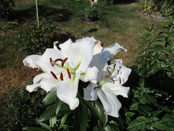 Trädlilja Många stora vita blommor på denna Trädliljan.                                2019-07-28 Trädlilja_0108 Granudden Färjestaden Öland