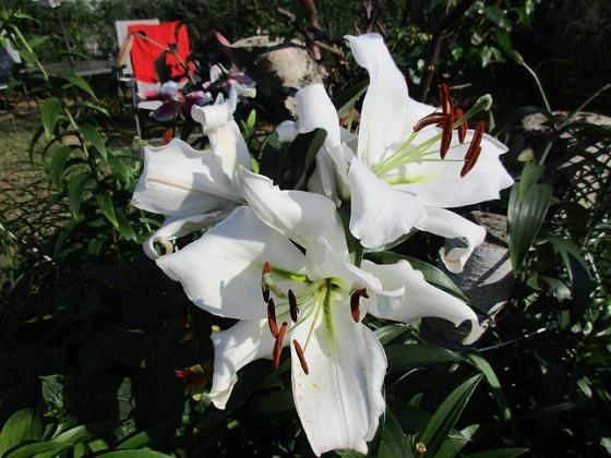 Trädlilja { Många stora vita blommor på denna Trädliljan.                                }