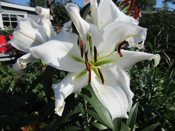 Trädlilja Många stora vita blommor på denna Trädliljan.                               &nbsp 2019-07-28 Trädlilja_0116 Granudden Färjestaden Öland