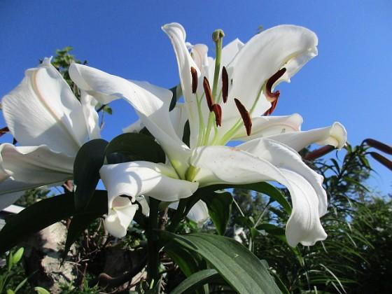 Trädlilja Många stora vita blommor på denna Trädliljan. Fint med blå himmel bakom!                                2019-07-28 Trädlilja_0118 Granudden Färjestaden Öland