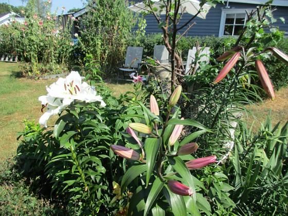 Trädliljor Det kommer snart att bli ännu flera Trädliljor i blom här!&nbsp 2019-07-28 Trädliljor_0065 Granudden Färjestaden Öland