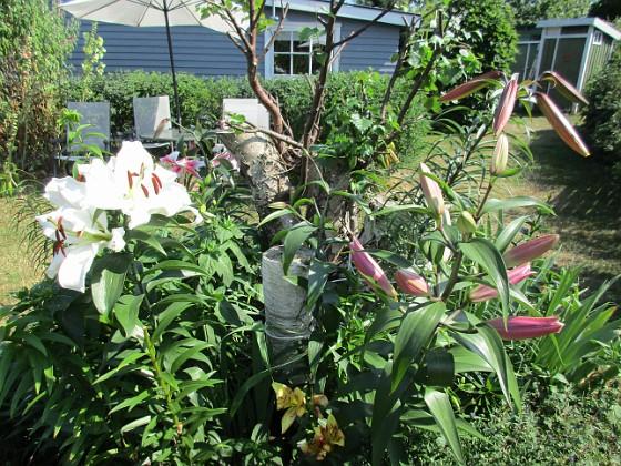 Trädliljor Det kommer snart att bli ännu flera Trädliljor i blom här!                                2019-07-28 Trädliljor_0066 Granudden Färjestaden Öland