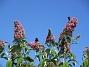 Buddleja Man kan förstå varför den också kallas Fjärilsbuske!                                2019-07-28 Buddleja_0120