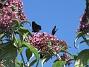 Man kan förstå varför den också kallas Fjärilsbuske!                                (2019-07-28 Buddleja_0122)