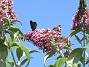 Buddleja Man kan förstå varför den också kallas Fjärilsbuske!                                2019-07-28 Buddleja_0123