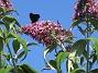 Buddleja Man kan förstå varför den också kallas Fjärilsbuske!                                2019-07-28 Buddleja_0124