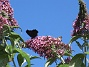 Buddleja Man kan förstå varför den också kallas Fjärilsbuske!                                2019-07-28 Buddleja_0125