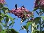 Buddleja Man kan förstå varför den också kallas Fjärilsbuske!                                2019-07-28 Buddleja_0126