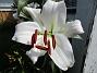 Trädlilja Min andra vita Trädlilja (OT-lilja) har slagit ut! 2019-07-28 Trädlilja_0001